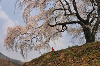 発地の桜.jpg